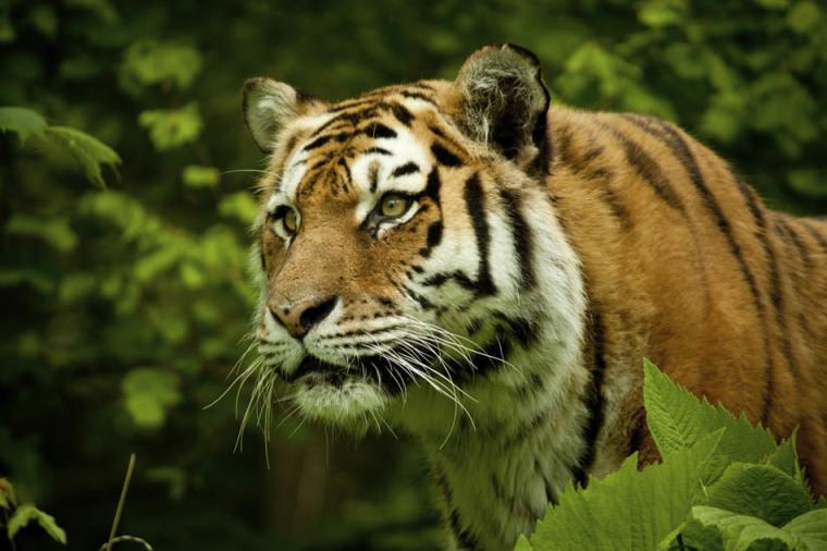 TigerStopImaginingBLOG